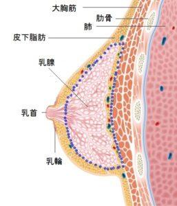 胸オペのための乳房解剖
